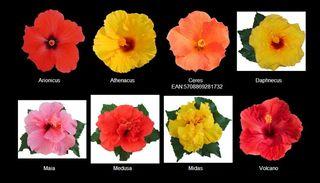 Hibiscus-multiflora