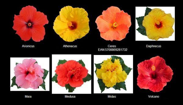 5 conseils pour un hibiscus le pouvoir des fleurs for Engrais hibiscus exterieur