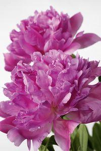 4 Conseils Pour Conserver Vos Pivoines Le Pouvoir Des Fleurs