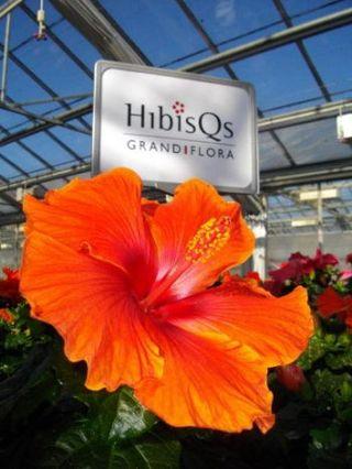 Hibiscus-grandiflora_01