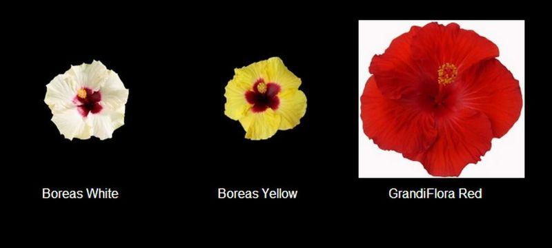 Hibiscus-grandiflora
