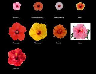 Hibiscus-gardiflora