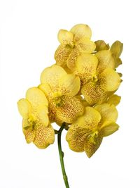 Vanda-sunanda-yellow_magic