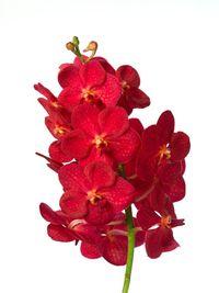Vanda-natcha-red