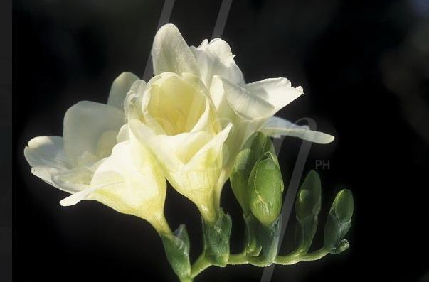 Blossom-freesia