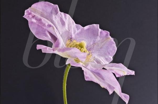 Blossom-clématite