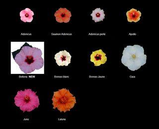 Hibiscus-longiflora_05