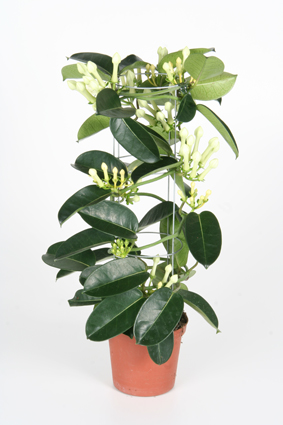 Stephanotis-Tower-105cm