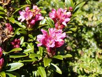 Rhododendron_02