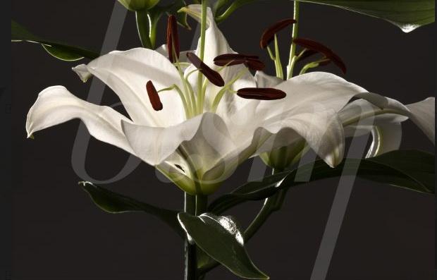 Blossom-lys