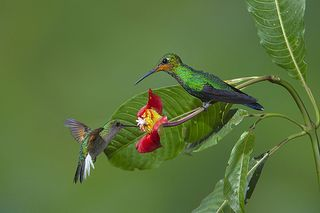 Psychotria-elata_00