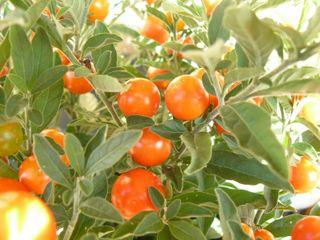 Solanum-détail