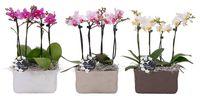 Phalaenopsis_09
