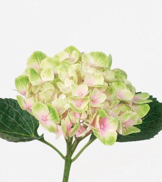 Hortensia-Bicolore-Rose-Vert