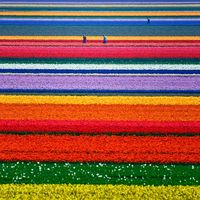 A-Champs de tulipes, Pays-Bas