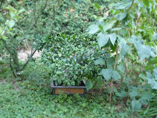 Ficus ginseng_02