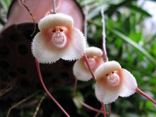 Orchidee dracula_01