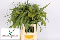 Plantion setaria