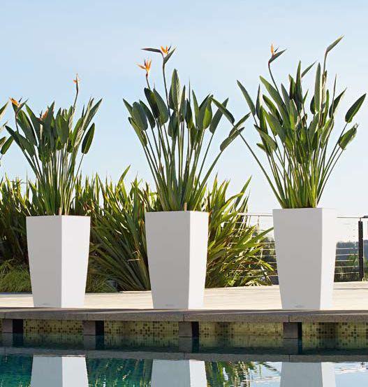 conseils pour soigner les str litzias en pot le pouvoir des fleurs. Black Bedroom Furniture Sets. Home Design Ideas