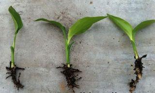 Strélitzia-jeune-plant