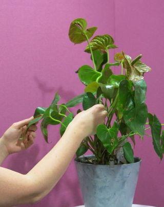 frotter les feuilles entre son pouce et l'index