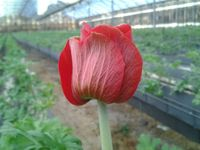 Sica anemone_02