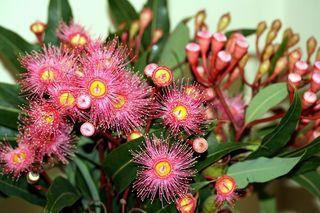 Eucalyptus en fleur