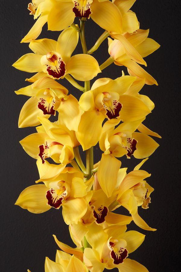 La saison des orchid es cymbidium commence le pouvoir des fleurs - Couper la tige d une orchidee ...