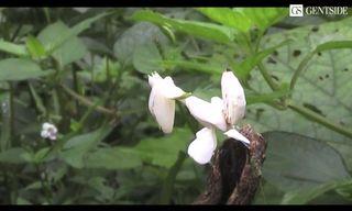 Mante_orchidée_00