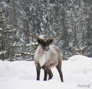 Caribou seul