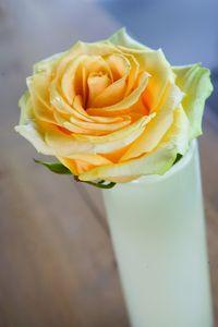 Rose-avalanche-comtessa