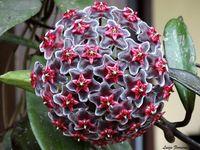 Hoya Purplle Hawai