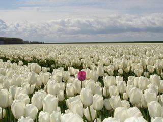 Tulipes-champ