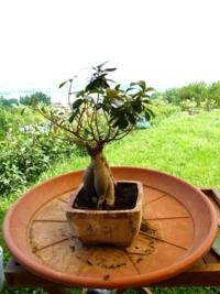 Ficus-feuilles