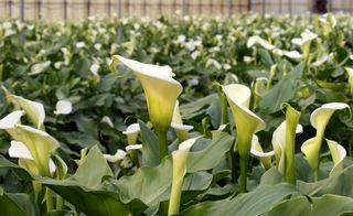 Var terre de fleurs-Arums