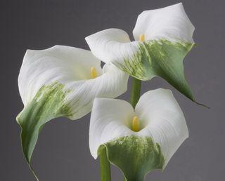 Calla-arum-blanc-vert