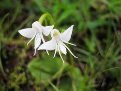 Fleur-habenaria grandifloriformis