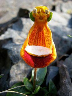 Fleur-calceolaire uniflora