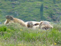 Marmottes-05