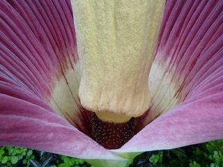 Amorphophallus titanum_03