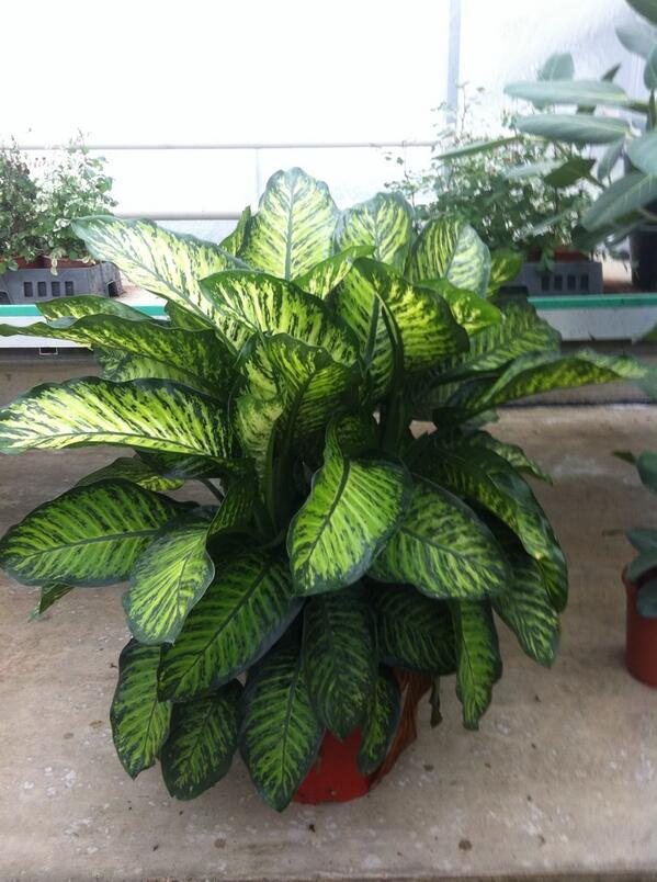 Le dieffenbachia une plante verte un peu oubli e le for Vert plante