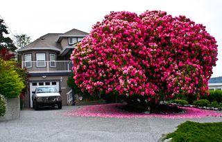 Arbres_rhododendron