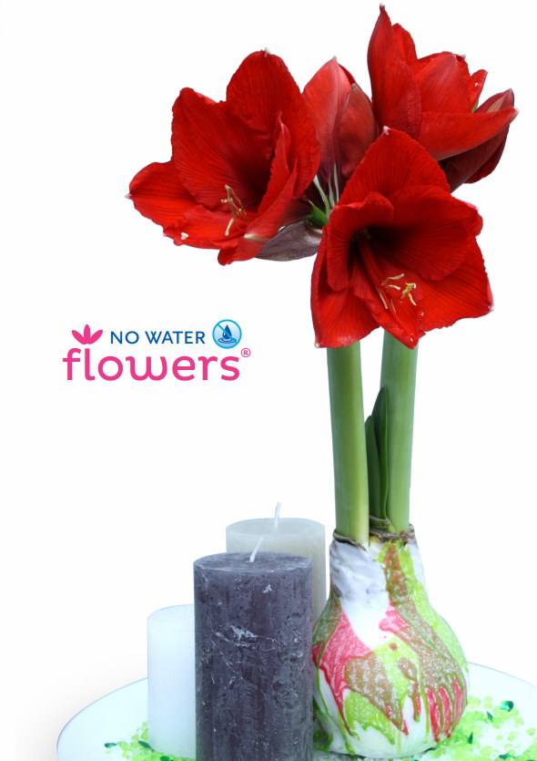 nouveau des plantes d 39 amaryllis sans eau le pouvoir des. Black Bedroom Furniture Sets. Home Design Ideas