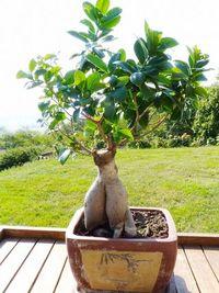 Ficus-feuilles-après