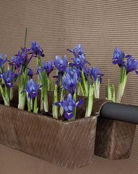 Bulbes-iris-pot