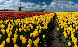 Hollande-tulipes