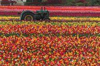 Hollande-tulipes2