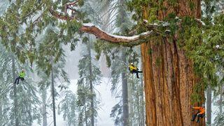 Sequoia géant-1