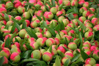 Var terre de fleurs-Pivoines
