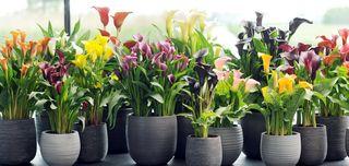 Callas-plantes_02